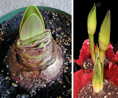 Potted amayllis bulbs producing shoots (L) and flower buds (R).