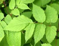 Aruncus has pinnately compound leaves.