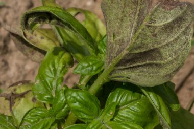 Leaf curling and yellowing, as well as a gray-purple fuzz on the bottoms of leaves, is typical of basil downy mildew.  (Photo courtesy of Debbie Roos)