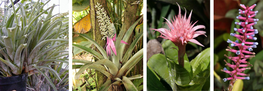Aechmea ornata plants (L); blooming A. castelnavii (LC); blooming hybrid Aechmea (RC); and inflorescence of A. gamosepala (R).