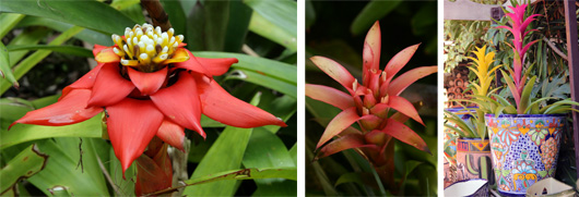 Guzmania lingulata (L) and Guzmania hyrbrids (C and R).