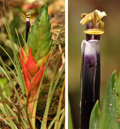 Tillandsia punctata inflorescence (L) and flower closeup (R).
