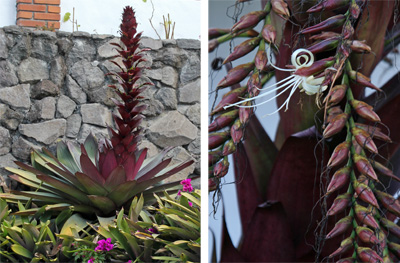 The tall inflorescence of Vriesea imperialis (L) and closeup of the pendant flower spikes with a single white flower open (R).