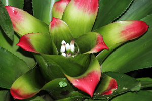 Many bromeliads make good houseplants because they thrive under lower light consitions.