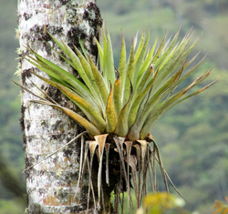 An epiphytic bromeliad growing on a tree trunk.