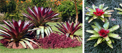 Dramatic plantings of huge Vriesea imperilis underplanted with red Iresine (L) and a Neoregelia hybrid set against black mondo grass (R).