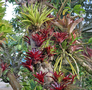 A collection of bromeliads placed on a tree at Costa Flores, Costa Rica.