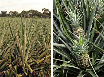 Commercial pineapple, Ananas comosus, in the field.