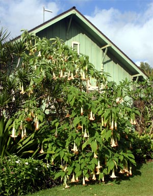 An Angels Trumpet at the National Botanical Garden in Kauai.