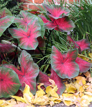 Caladiuims prefer a moist, rich, light, well-drained soil.