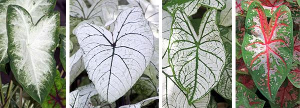 Cultivars (L-R): 'Aaron', 'Candidum', 'Candidium Jr.', and 'Carolyn Wharton'.