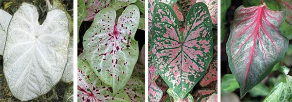 Cultivars (L-R): 'June bride', 'Miss Muffet', 'Pink Beauty', and 'Pink Gem'.