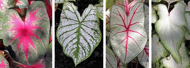 Cultivars (L-R): 'Rosebud', 'White Christmas', 'White Queen', and 'White Wing'.