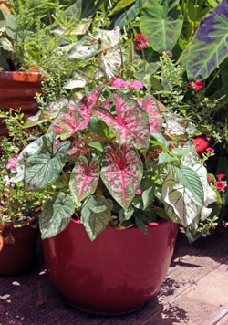 Keep the soil evenly moist and provide plenty of fertilizer during the growing season.