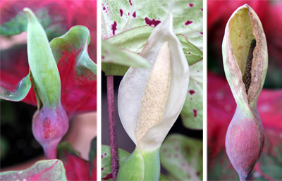 A caladium inflorescence emerging (L), flowering (C) and declining (R).