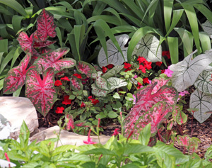 Intersperse caladiums in shade plantings to provide color.