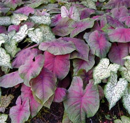 Colorful caladium leaves.