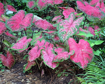 Caladiums thrive in hot and humid conditions.