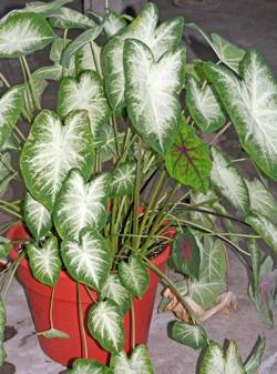 A caladium grown as a houseplant.