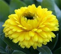 Calendula 'Bon Bon Yellow'.