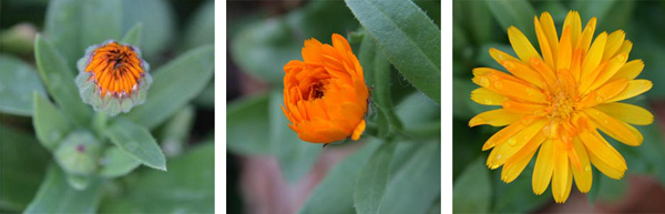 The daisy-like flowers of calendula open from tight buds to show off brightly colored petals.