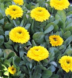 Calendula plants.