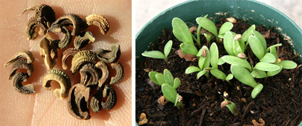 The seeds are an unusual curved shape and germinate into non-descript green seedlings.