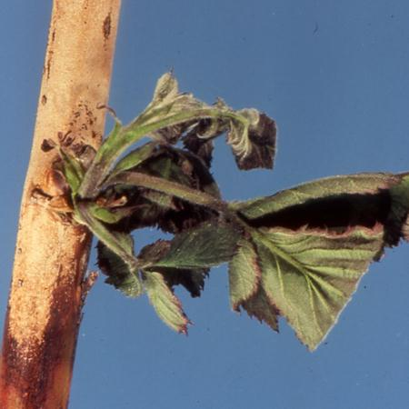 Cane death on a thornless blackberry caused by cane blight.  Look for a dark brown infection line and dead/dying shoots above the point of infection.  (Photo courtesy of Michael Ellis, The Ohio State Univ.)