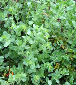 Honeywort is grown as an annual in the Midwest