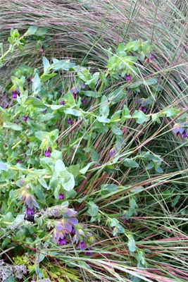 Honeywort's blue foliage is a good contrast or echo with other plants, here with little bluestem grass, Schizachryium scoparium 'The Blues'.