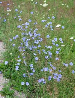 Chicory, Cichorium intybus, flowering.