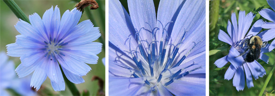 The distinctive blue flowers of chicory have numerous ray florets, each with toothed blunt ends (L) and blue anthers and styles (C). The flowers are visited by many different insects, including bumblebees (R).