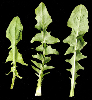 Variation in the lobes on chicory leaves.