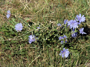 When repeatedly mowed off, chicory blooms close to the ground.