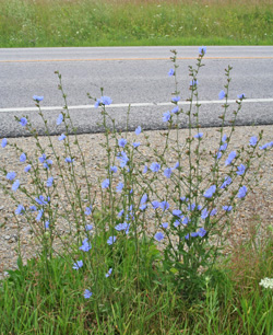 Chicory is common along roadsides.