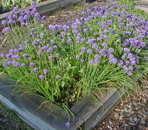 Chives can be harvested at any time and the flowers are edible, too.