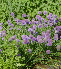 Chives blooming among other herbs.