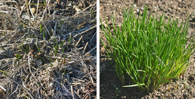 Chives coming out of winter dormancy (L) and new growth in spring (R).
