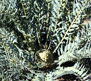 Encephalartos horridus.