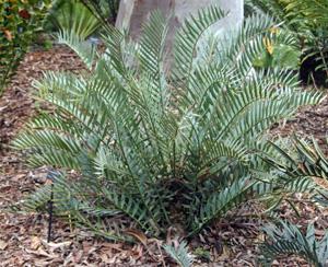 Encephalartos trispinosus.