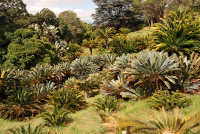 The Cycad Amphitheatre at Kirstenbosch Botanical Gardens in Cape Town, South Africa showcases numerous species of these ancient plants.