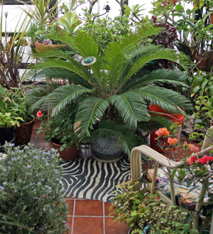 Container-grown sago palm, Cycas revoluta, kept in a Wisconsin greenhouse for about 25 years from a 3 offset.
