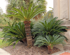 A group of sago palms, Cycas revoluta, in Audubon Park, New Orleans.