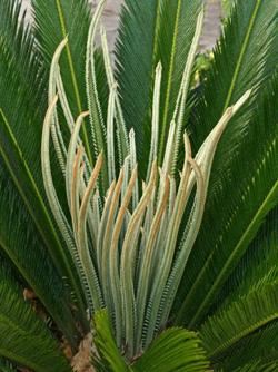 Sago palm, Cycas revoluta, producing a new flush of leaves.