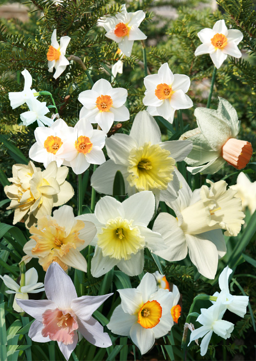 Not all daffodils are yellow!