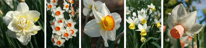 Daffodil cultivars, from left to right: Obdam, Redhill, Flower Record, Lapwing, and Foundling.