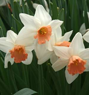 Pinkdaffodils are really closer to salmon or peach in color.