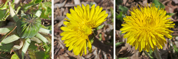 The fat green buds (L) open (C) to expose all the numerous ray and disc flowers (R).