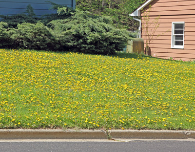 Many people do not like dandelions when they threaten to take over a lawn.