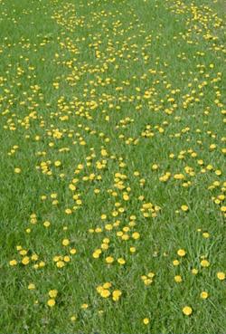 Dandelions flowering in a lawn.